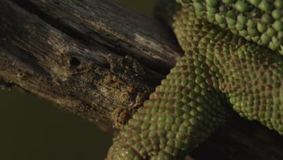 Close up on Chameleon's foot gripping a tree branch