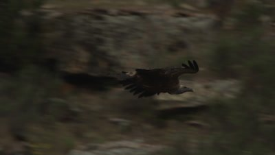 Griffon Vulture flying at dusk, then lands on a rocky cliff ledge
