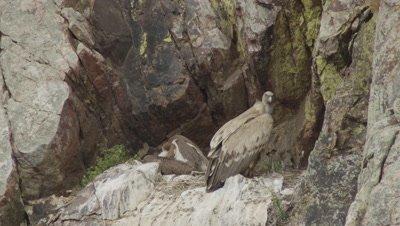 Griffon Vultures roosting on a cliffside