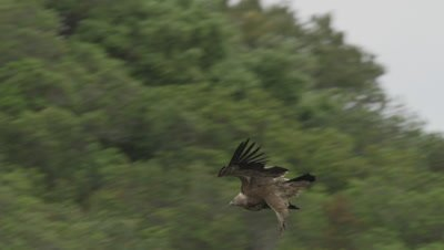 Griffon Vulture in flight lands near cliffside nest where it's mate rests