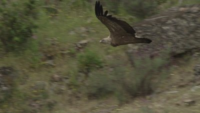 Griffon Vulture flying near cliffside nests