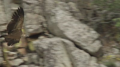 Griffon Vulture flying near cliffside nests lands at the top of a rocky cliff