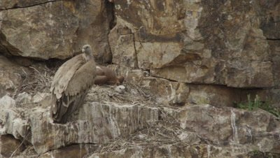 Griffon Vultures nesting on a rocky cliffside