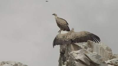 Griffon Vultures resting on a rocky cliff, one with wings spread wide (horaltic pose)