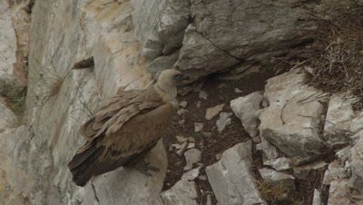 Griffon Vulture mother resting on cliffside near nest and vulture egg