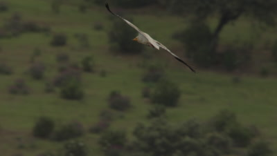 Egyptian Vulture flying through the sky