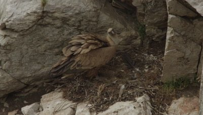 Griffon Vulture mother protecting egg in cliffside nest