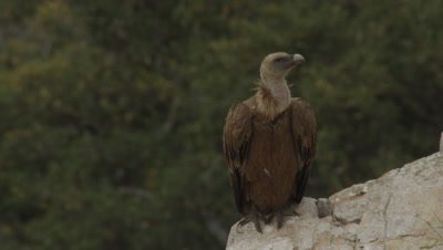 Griffon Vulture parent preening and resting near cliffside nest