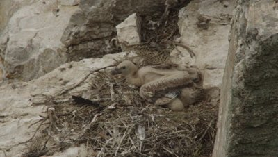Griffon Vulture chick resting in cliffside nest