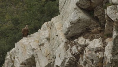 Griffon Vulture parents protecting cliffside nest; mother lays on egg
