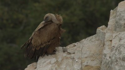 Griffon Vulture parent preening and resting near cliffside nest; stops to defecate