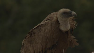 Griffon Vulture parent resting near cliffside nest