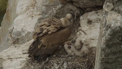 Griffon Vulture mother and chick nesting on cliffside