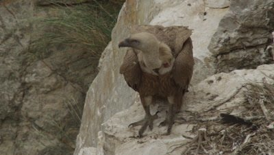 Griffon Vulture mother protecting chick in cliffside nest
