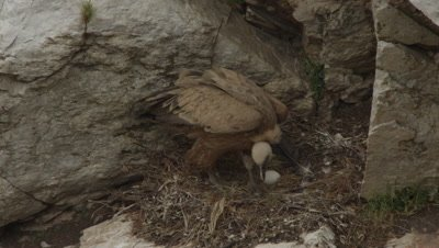 Griffon Vulture mother takes flight and leaves egg in cliffside nest
