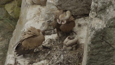 Griffon Vultures parents and chick roosting at cliffside nest
