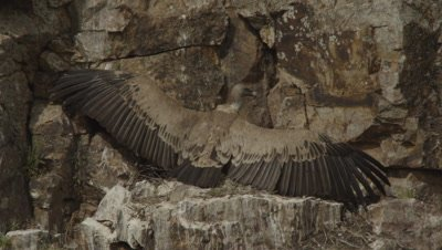 Griffon Vulture resting on rocky cliff ledge with wings spread in the Horaltic Pose