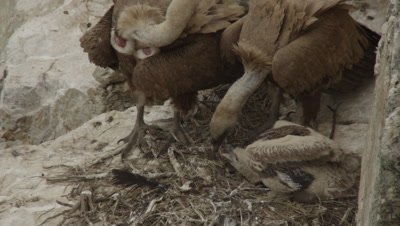Griffon Vultures in cliffside nest with chick; one parent feeds chick