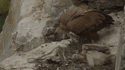 Griffon Vultures in cliffside nest with chick