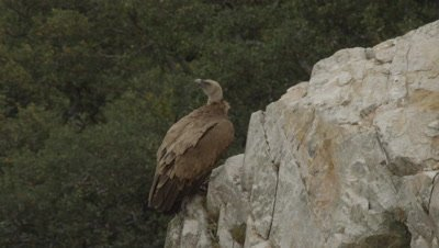 Griffon Vulture resting on cliffside ledge is startled and takes flight