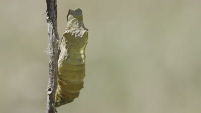 Swallowtail butterfly chrysalis during metamorphasis