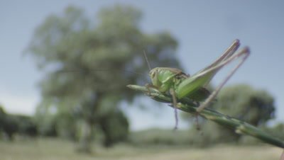 Grasshopper jumps off the end of a blade of grass
