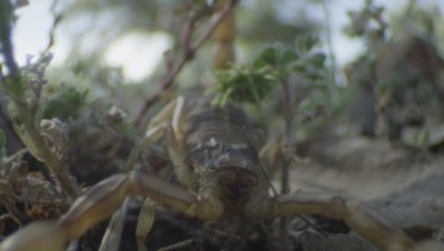 Common Yellow Scorpian crawls through dirt and grass and attacks camera lens
