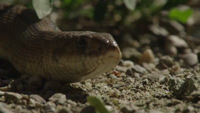 Ladder Snake rests on a patch of dirt in the sunlight, tastes the air
