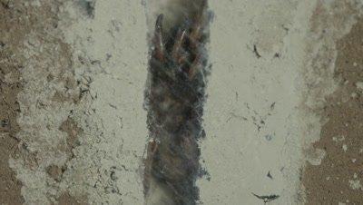 Cross cut view of Trapdoor Spider underground in it's burrow