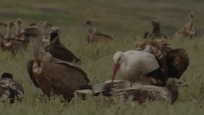 Griffon, Egyptian and Eurasian Black Vultures gathered near sheep carcass; a Stork walks in the foreground