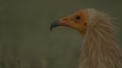 Egyptian Vulture standing in the grass near sheep carcass