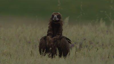 Eurasian Black Vulture standing in the grass near sheep carcass