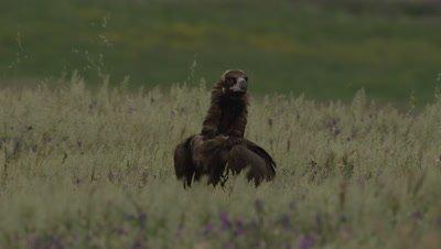 Eurasian Black Vulture standing in the grass near sheep carcass; Egyptian Vulture flies through the background