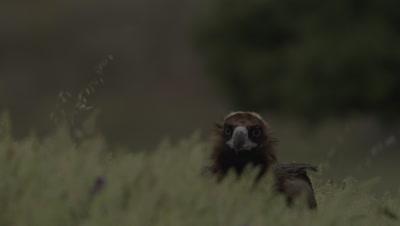 Eurasian Black Vultures run through the grass near sheep carcass
