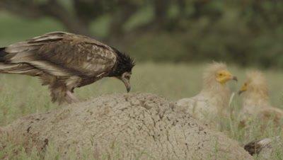 Egyptian Vultures gathered near sheep carcass