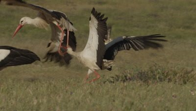 Storks fighting while feeding on sheep carcass