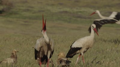 Storks feed on sheep carcass; Egyptian Vultures watch in the background