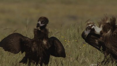 Storks and Vultures (Eurasian Black and Griffon) gathered near sheep carcass