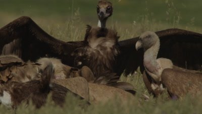 Griffon, Egyptian and Eurasian Black Vultures feed on sheep carcass