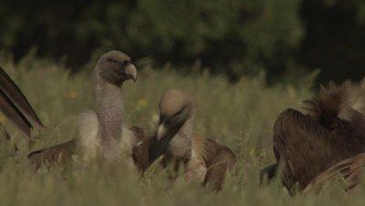 Griffon, Egyptian and Eurasian Black Vultures feed on sheep carcass