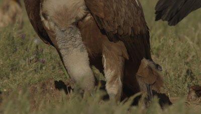 Griffon Vulture feeds on sheep carcass; Egyptian Vulture walks through the background
