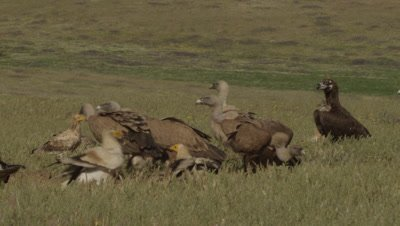 Storks and Vultures (Eurasian Black, Griffon, and Egyptian) feed on sheep carcass