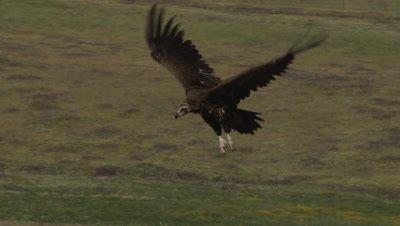 Eurasian Black Vulture in flight over meadow