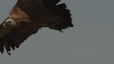 Griffon Vulture in flight lands near Storks and other Vultures feeding on sheep carcass