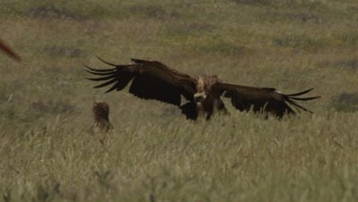 Griffon Vulture in flight lands in meadow near Storks, Eurasian Black Vulture and other Griffon Vultures