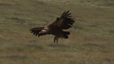Griffon Vulture in flight lands in meadow near Storks, Eurasian Black Vulture and Griffon Vultures