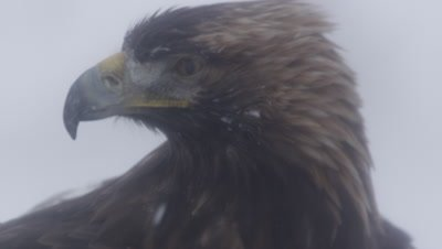 Golden Eagle stands in the snow then takes flight