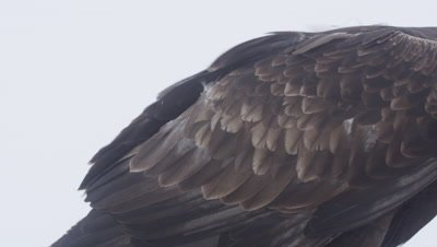 Close up of feathers on the tail and wing of a Golden Eagle