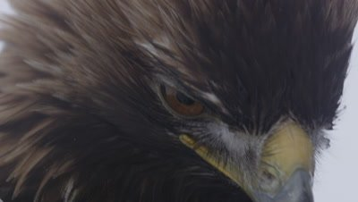 Close up on a Golden Eagle's face before it takes flight