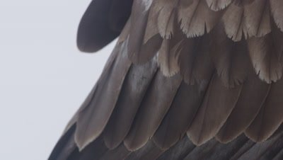 Close up of feathers on the tail and head of a Golden Eagle